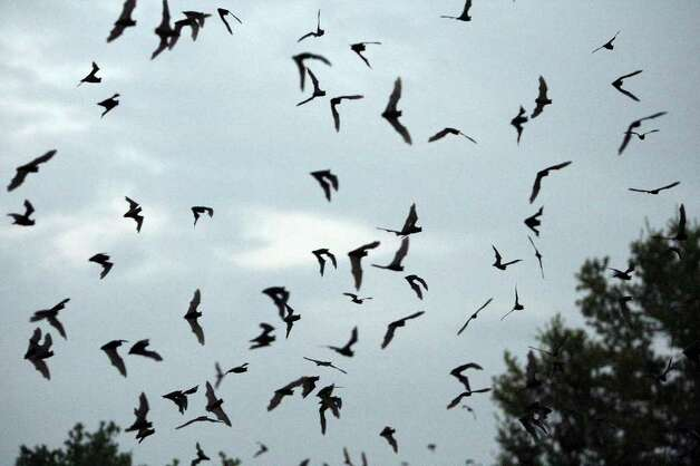 Some of the 1-3 million Mexican free-tailed bats emerge from the Old Tunnel Wildlife Management Area in 2009 located between Fredericksburg and Comfort. Photo: EDWARD A. ORNELAS, Express-News / eaornelas@express-news.net