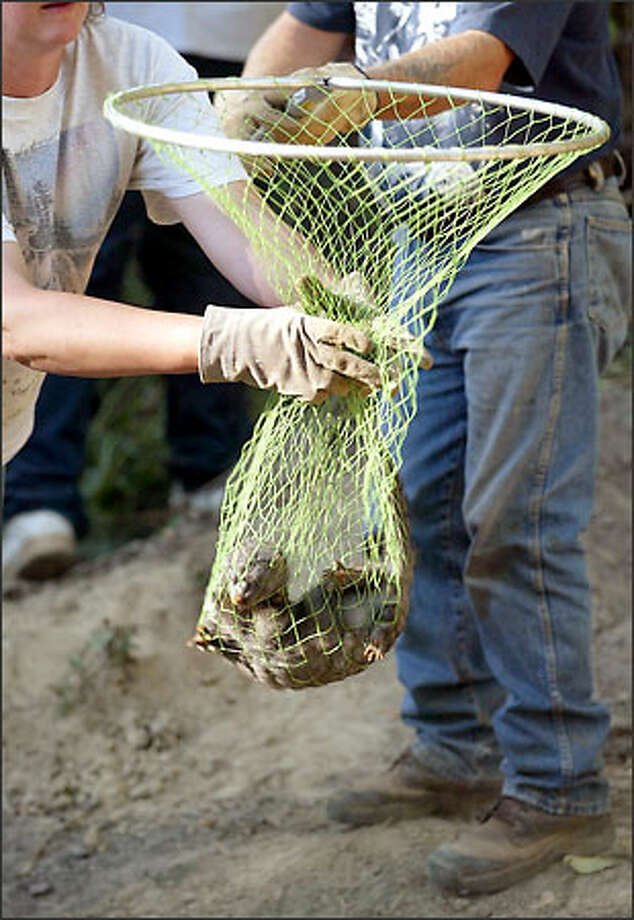 Workers use a fish net yesterday to snag a mink released from a Sultan mink farm. Photo: Mike Urban/Seattle Post-Intelligencer