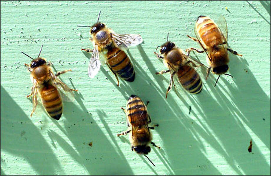"""Honey bees """"will (retrieve nectar) from sunup to sundown until they literally wear out,"""" says Tim Celeski, president of the Puget Sound Beekeepers Association. Photo: Karen Ducey/Seattle Post-Intelligencer"""