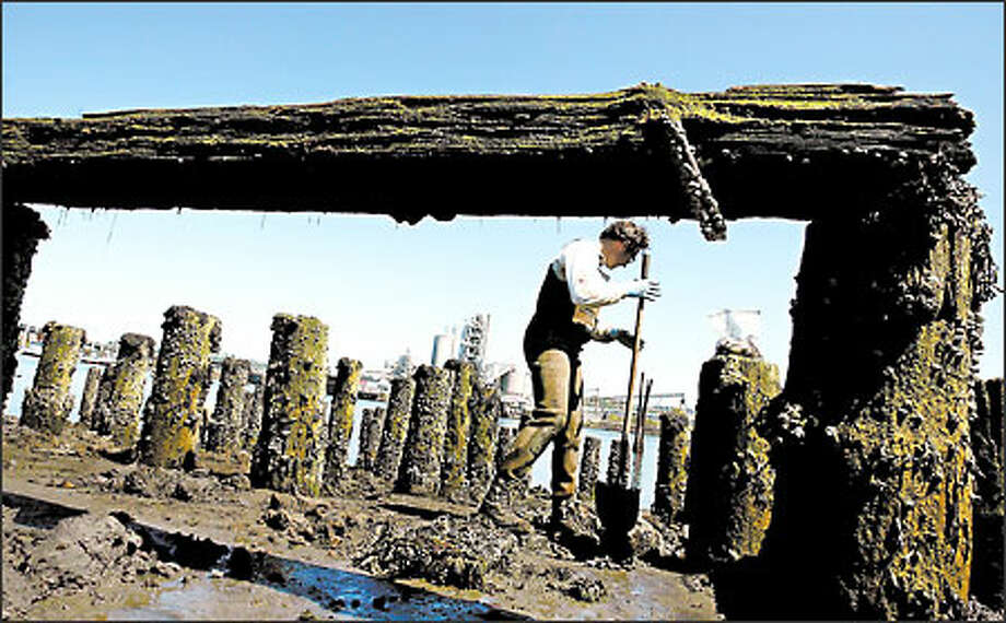 Environmental scientist Shawn Hinz looks for clams on the lower Duwamish River to check the effect of pollution on their numbers and edibility. Photo: Paul Joseph Brown/Seattle Post-Intelligencer