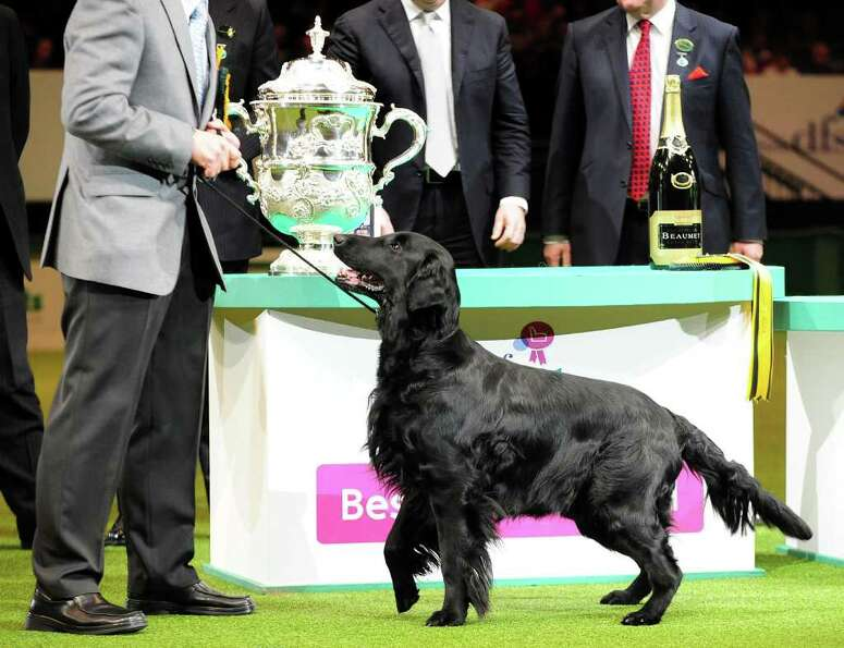 Jet, a Flatcoated Retriever,  from South Queesferry, Edinburgh, with the trophy after winning Best i