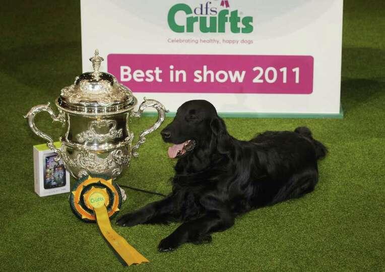 BIRMINGHAM, ENGLAND - MARCH 13:  Jet, a Flatcoated Retriever dog celebrates winning 'Best in Show' a
