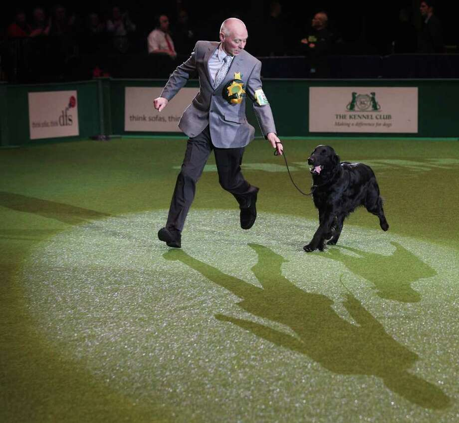 BIRMINGHAM, ENGLAND - MARCH 13:  Jet, a Flatcoated Retriever dog and handler Jim Irvine celebrate after winning 'Best in Show' at the 2011 Crufts dog show at the National Exhibition Centre on March 13, 2011 in Birmingham, England. Crufts, the world's largest dog show which marks 120 years this year, attracts nearly 22,000 dogs who vie for a variety of accolades, ultimately seeking the coveted 'Best In Show'.  (Photo by Oli Scarff/Getty Images) Photo: Oli Scarff