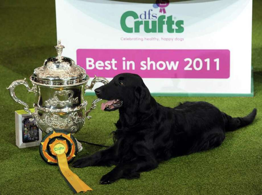 "Jet, a Flatcoated Retriever and breeder Jim Irvine (unseen) from South Queensferry, Scotland is awarded 'Best in Show' after earlier winning the Best Gundog category at the annual Crufts dog show at the National Exhibition Centre in Birmingham, central England, on March 13, 2011. The annual event sees dog breeders from around the world compete in a number of competitions with one dog going on to win the ""Best in Show"" category. AFP PHOTO/PAUL ELLIS (Photo credit should read PAUL ELLIS/AFP/Getty Images) Photo: PAUL ELLIS"