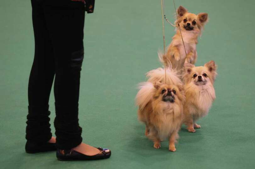 BIRMINGHAM, ENGLAND - MARCH 13:  A woman controls her Long Coat Chihuahua dogs on the final day of t