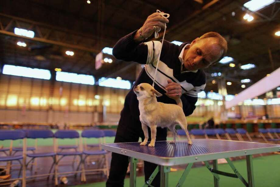 BIRMINGHAM, ENGLAND - MARCH 13:  A man practices posing his Short Coat Chihuahua dog on the final day of the annual Crufts dog show at the National Exhibition Centre on March 13, 2011 in Birmingham, England. During this year's four-day competition nearly 22,000 dogs and their owners will vie for a variety of accolades, ultimately seeking the coveted 'Best In Show'.  (Photo by Oli Scarff/Getty Images) Photo: Oli Scarff