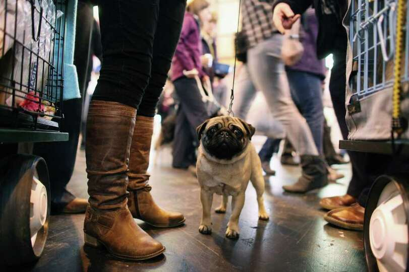 BIRMINGHAM, ENGLAND - MARCH 13:  A pug dog stands in the exhibition hall on the final day of the ann