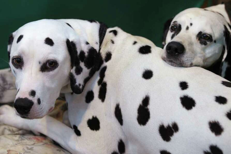 BIRMINGHAM, ENGLAND - MARCH 13:  Two dalmatian dogs wait in their stall on the final day of the annu