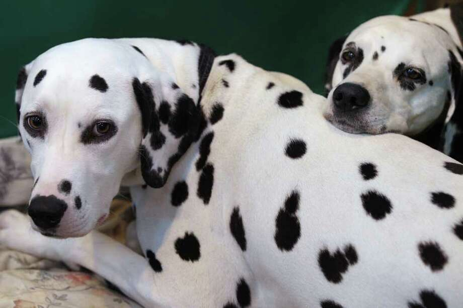 BIRMINGHAM, ENGLAND - MARCH 13:  Two dalmatian dogs wait in their stall on the final day of the annual Crufts dog show at the National Exhibition Centre on March 13, 2011 in Birmingham, England. During this year's four-day competition nearly 22,000 dogs and their owners will vie for a variety of accolades, ultimately seeking the coveted 'Best In Show'.  (Photo by Oli Scarff/Getty Images) Photo: Oli Scarff