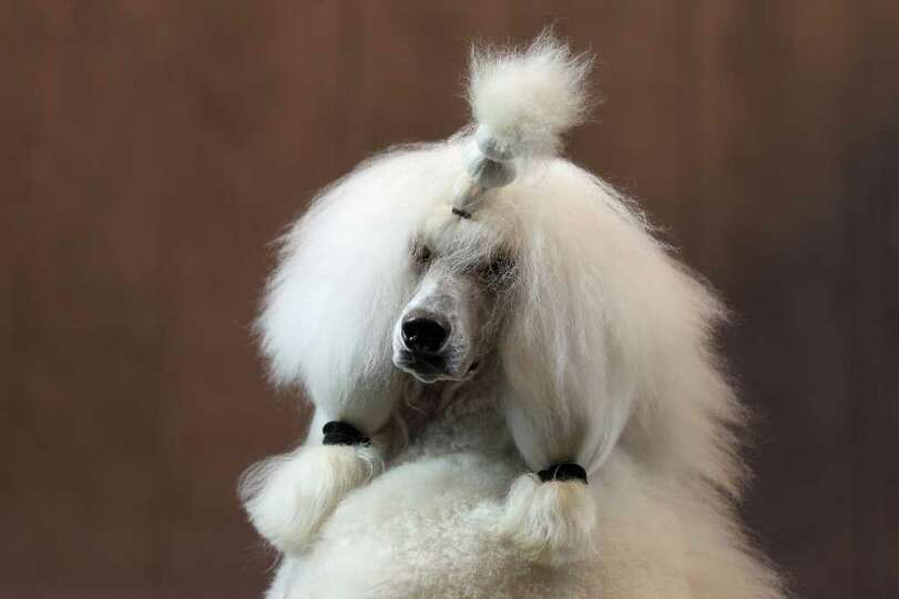 BIRMINGHAM, ENGLAND - MARCH 13:  A poodle dog is groomed on the final day of the annual Crufts dog s