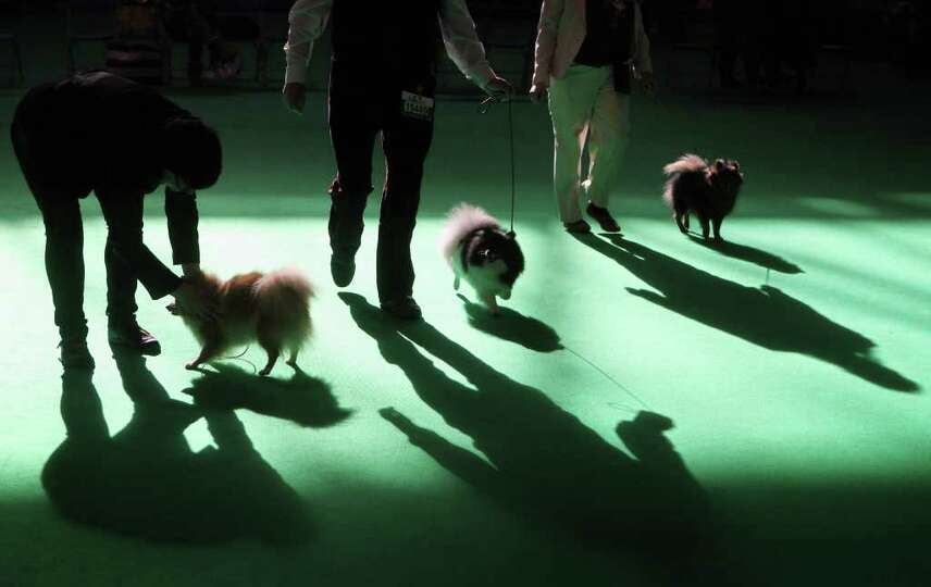BIRMINGHAM, ENGLAND - MARCH 13:  Pomeranian dogs are judged on the final day of the annual Crufts do