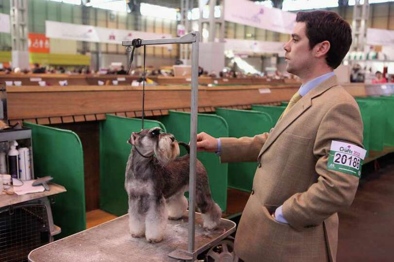 BIRMINGHAM, ENGLAND - MARCH 13:  A man stands with his miniature schnauzer dog before it is judged o