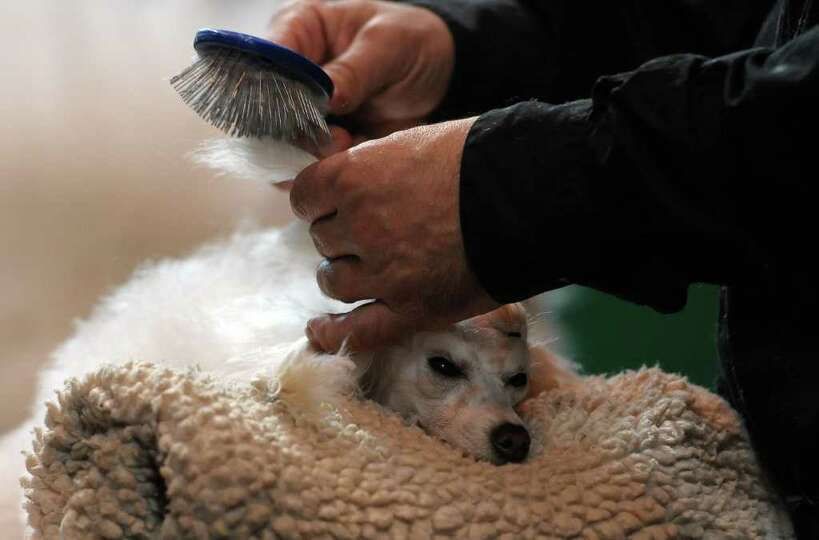 A Poodle is groomed during the final day of the annual Crufts dog show at the National Exhibition Ce