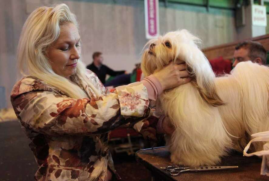 BIRMINGHAM, ENGLAND - MARCH 13:  Marion Radstock grooms her Lhasa Apso dog before it is judged on th
