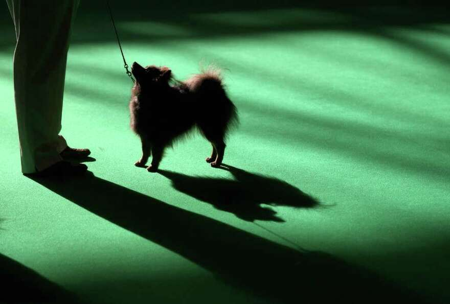 BIRMINGHAM, ENGLAND - MARCH 13:  A pomeranian dog is judged on the final day of the annual Crufts do