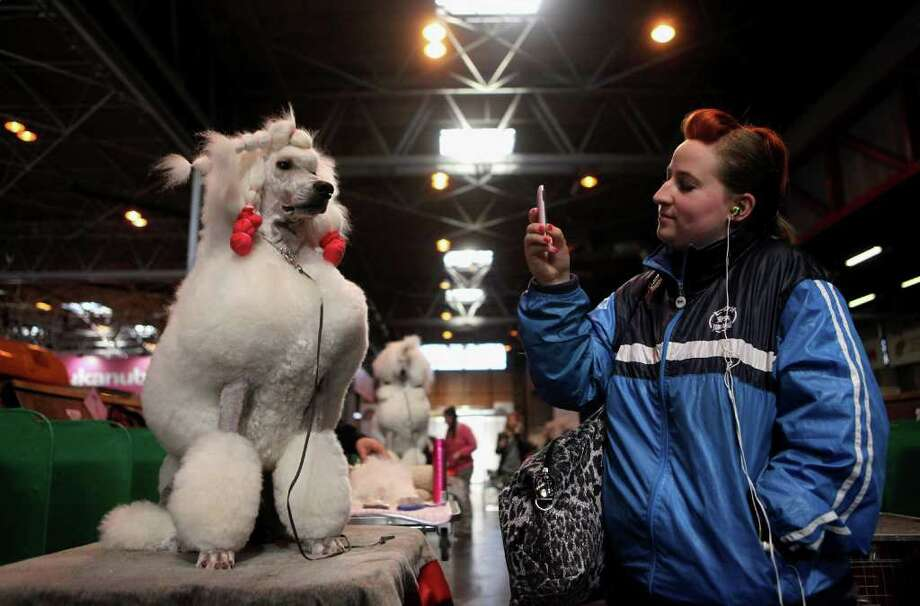BIRMINGHAM, ENGLAND - MARCH 13:  A woman takes a photo of a poodle dog on her mobile phone on the final day of the annual Crufts dog show at the National Exhibition Centre on March 13, 2011 in Birmingham, England. During this year's four-day competition nearly 22,000 dogs and their owners will vie for a variety of accolades, ultimately seeking the coveted 'Best In Show'.  (Photo by Oli Scarff/Getty Images) Photo: Oli Scarff
