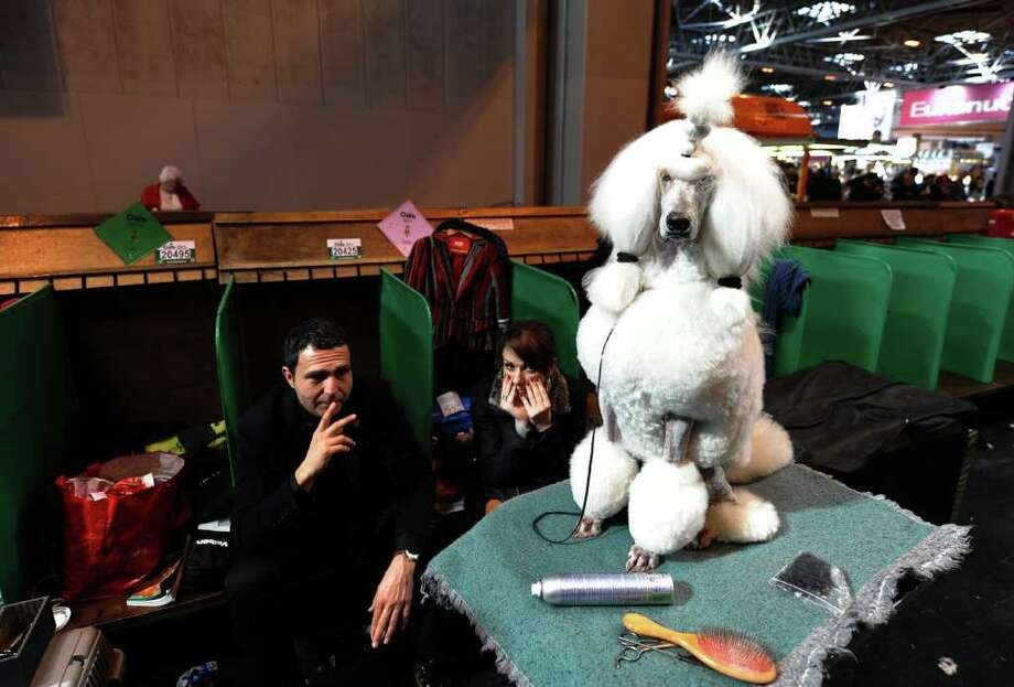"""Standard Poodle waits to be groomed during the final day of the annual Crufts dog show at the National Exhibition Centre in Birmingham, central England, on March 13, 2011. The annual event sees dog breeders from around the world compete in a number of competitions with one dog going on to win the """"Best in Show"""" category. AFP PHOTO/PAUL ELLIS (Photo credit should read PAUL ELLIS/AFP/Getty Images) Photo: PAUL ELLIS"""