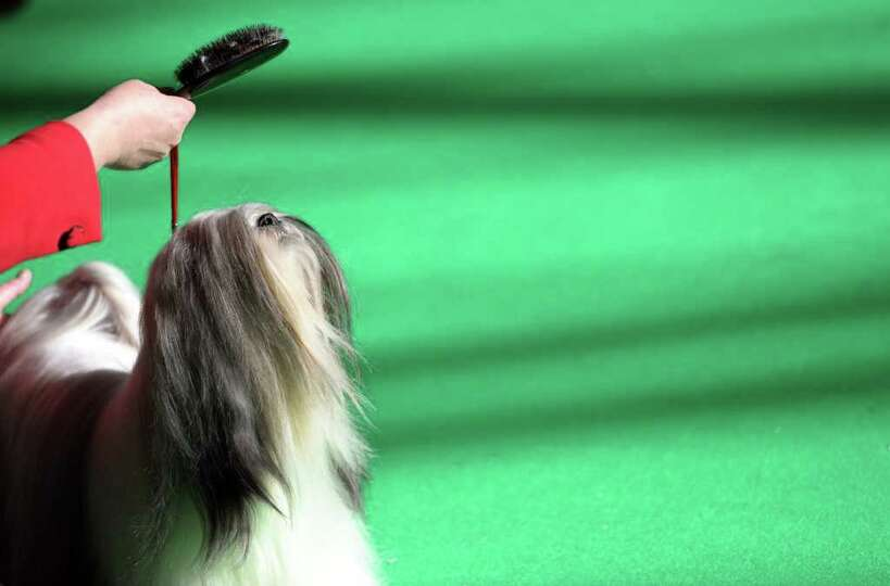 A Lhasa Apso is judged during the final day of the annual Crufts dog show at the National Exhibition