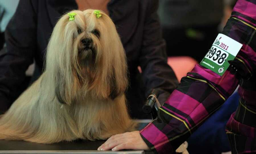 A Lhasa Apso dog waits to be groomed during the final day of the annual Crufts dog show at the Natio
