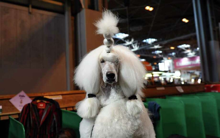 "A Standard Poodle waits to be groomed during the final day of the annual Crufts dog show at the National Exhibition Centre in Birmingham, central England, on March 13, 2011. The annual event sees dog breeders from around the world compete in a number of competitions with one dog going on to win the ""Best in Show"" category. AFP PHOTO/PAUL ELLIS (Photo credit should read PAUL ELLIS/AFP/Getty Images) Photo: PAUL ELLIS"