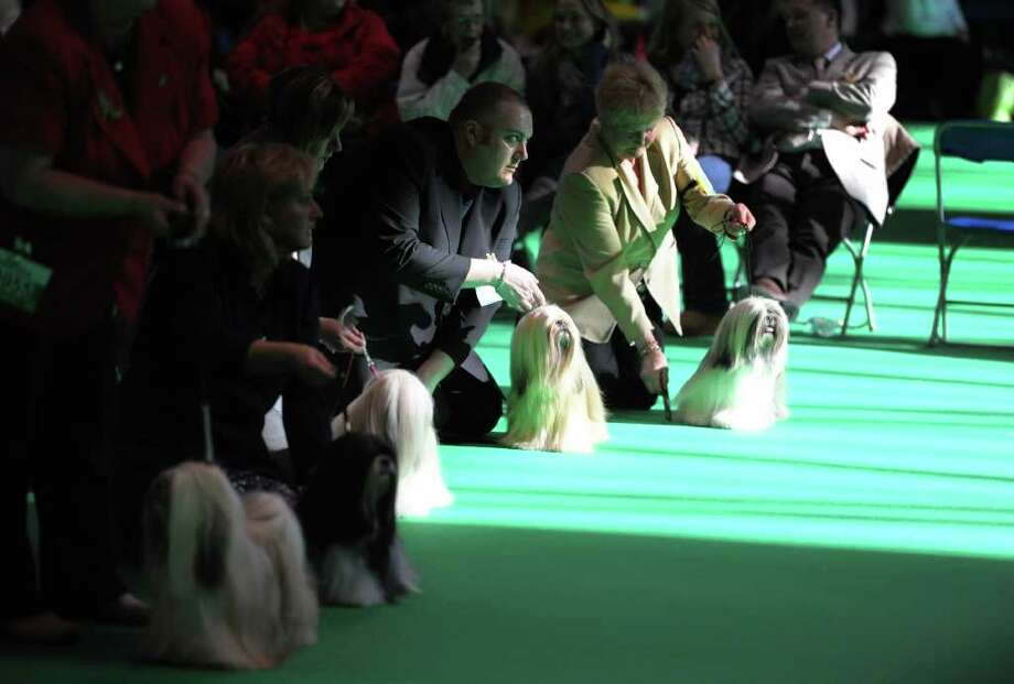 "Owners hold their Lhasa Apso dogs during judging on the final day of the annual Crufts dog show at the National Exhibition Centre in Birmingham, central England, on March 13, 2011. The annual event sees dog breeders from around the world compete in a number of competitions with one dog going on to win the ""Best in Show"" category. AFP PHOTO/PAUL ELLIS (Photo credit should read PAUL ELLIS/AFP/Getty Images) Photo: PAUL ELLIS"