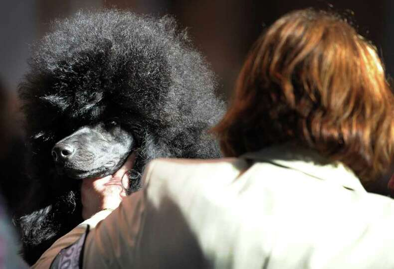 A Standard Poodle is examined during judging on the final day of the annual Crufts dog show at the N