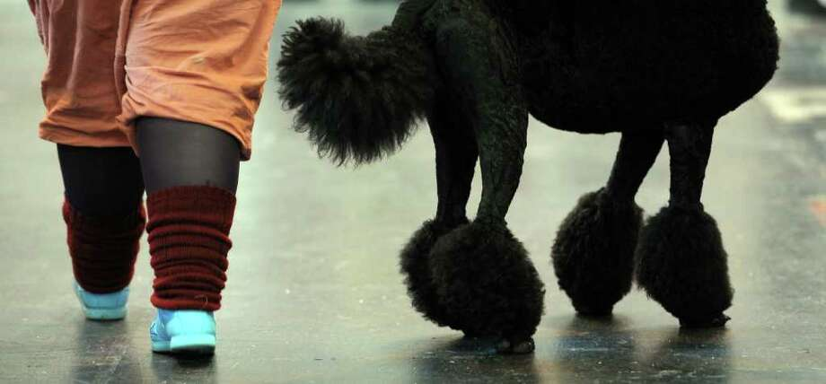 "A woman walks past a poodle on the final day of the annual Crufts dog show at the National Exhibition Centre in Birmingham, central England, on March 13, 2011. The annual event sees dog breeders from around the world compete in a number of competitions with one dog going on to win the ""Best in Show"" category. AFP PHOTO/PAUL ELLIS (Photo credit should read PAUL ELLIS/AFP/Getty Images) Photo: PAUL ELLIS"