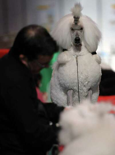 A man grooms a Standard Poodle on the final day of the annual Crufts dog show at the National Exhibi