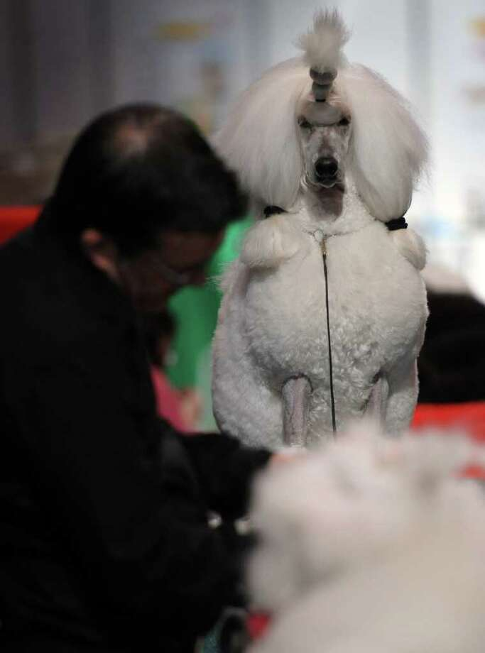 "A man grooms a Standard Poodle on the final day of the annual Crufts dog show at the National Exhibition Centre in Birmingham, central England, on March 13, 2011. The annual event sees dog breeders from around the world compete with one dog going on to win the ""Best in Show"" category. AFP PHOTO/PAUL ELLIS (Photo credit should read PAUL ELLIS/AFP/Getty Images) Photo: PAUL ELLIS"