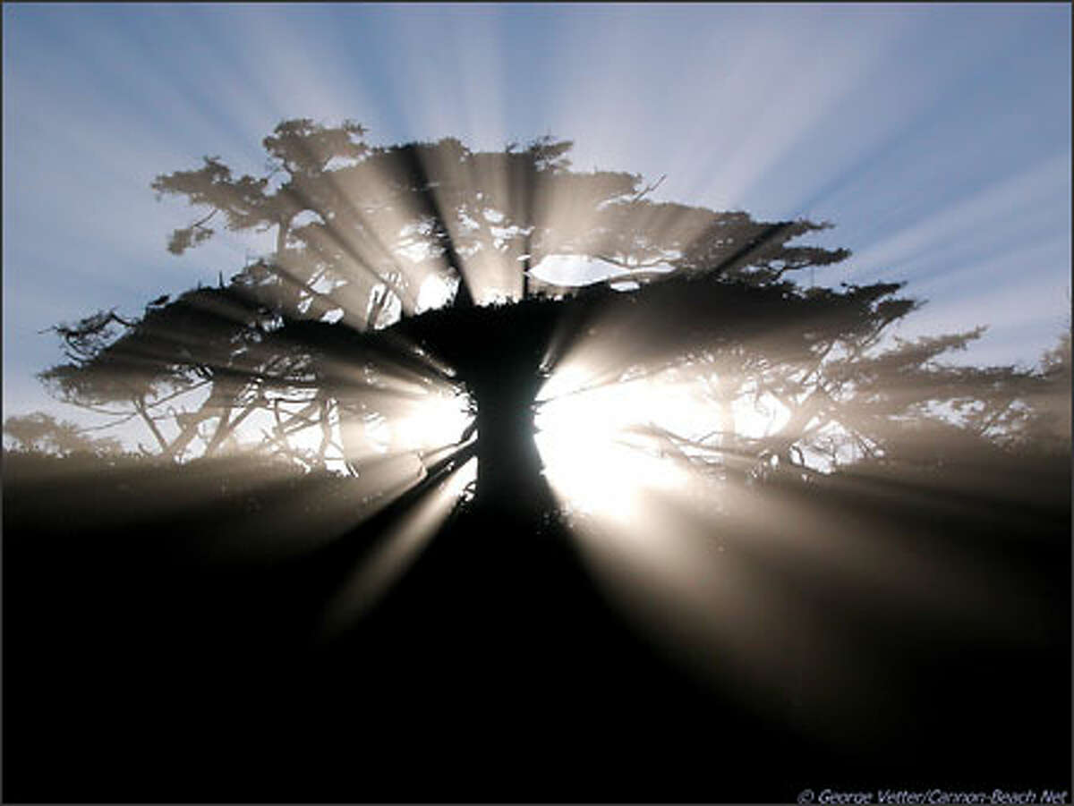 A gnarled coastal tree, sculpted by the fury of nature's winds, is backlit by morning rays of the sun at Cannon Beach.