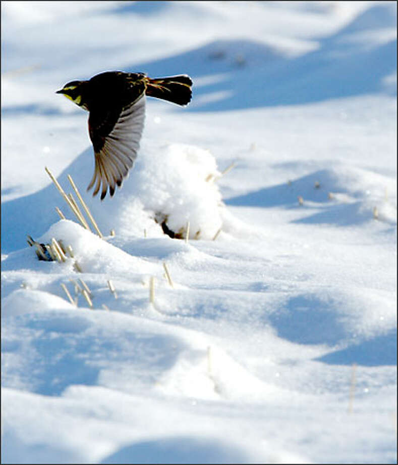 A horned lark searches for food over a snow-covered wheat field in eastern Douglas County. Photo: Gilbert W. Arias/Seattle Post-Intelligencer