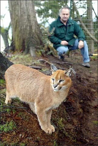 Cat fight in Legislature over exotic 'pets' - seattlepi com