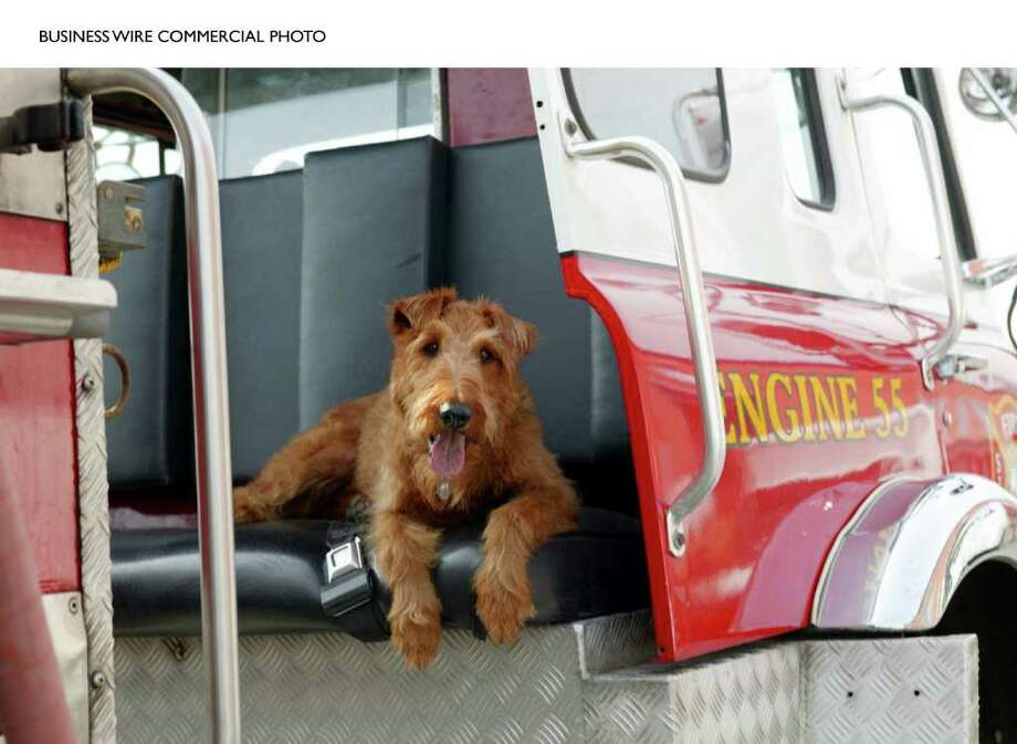 """Firehouse Dog"" stars Rex, an Irish Terrier. The family comedy opens in theaters everywhere on April 4. (Photo: Business Wire) / Twentieth Century Fox and AKC"