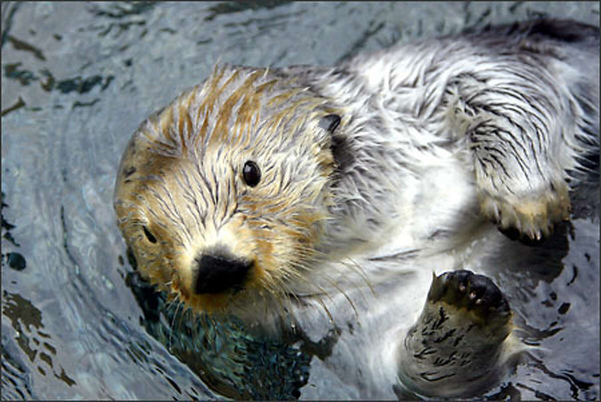 Kodiak is a sea otter that was rescued from the Exxon Valdez spill.