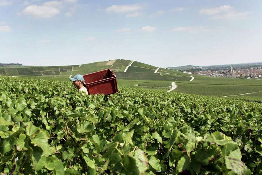 A worker carries a basket during the grape harvest of Roederer Champagne in Ay, in the Champagne production area of Épernay, near Reims in eastern France. Producers such as Möet & Chandon and Veuve Clicquot nurture precious plots in the region. Photo: AP / AP