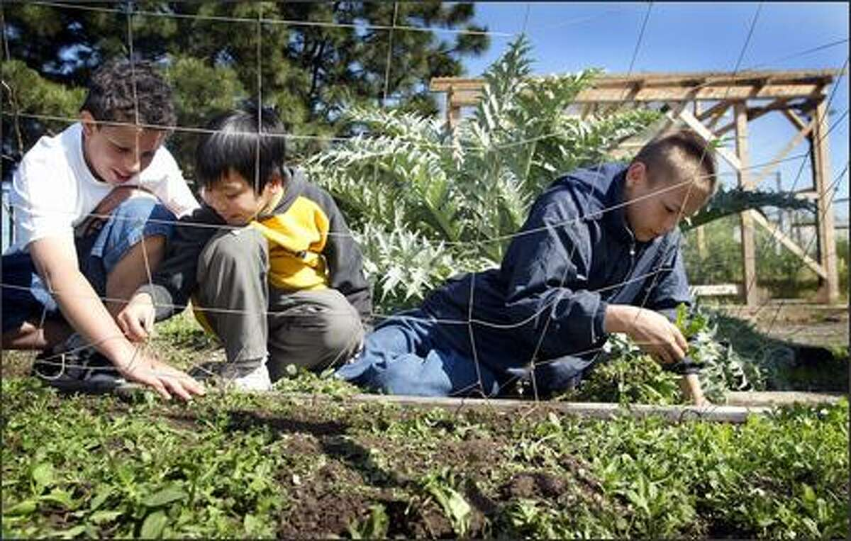 Michael Ragland-Johnsen, left, Huybaon Nguyen, center, and Kyle Rhyne pick weeds growing in the school garden at Orca Elementary yesterday.