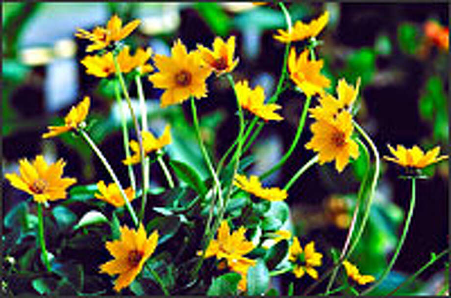 "Coreopsis auriculata ""Nana"""