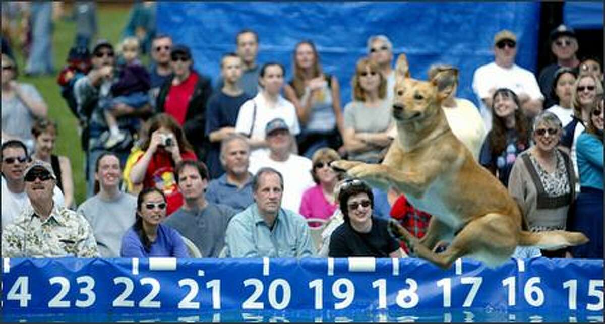 Fans follow every move made by Reilly, a yellow Labrador owned by Jeremy Reed of Glen Gardner, N.J. Reilly took sixth place in the DockDogs competition held at Marymoor Park.