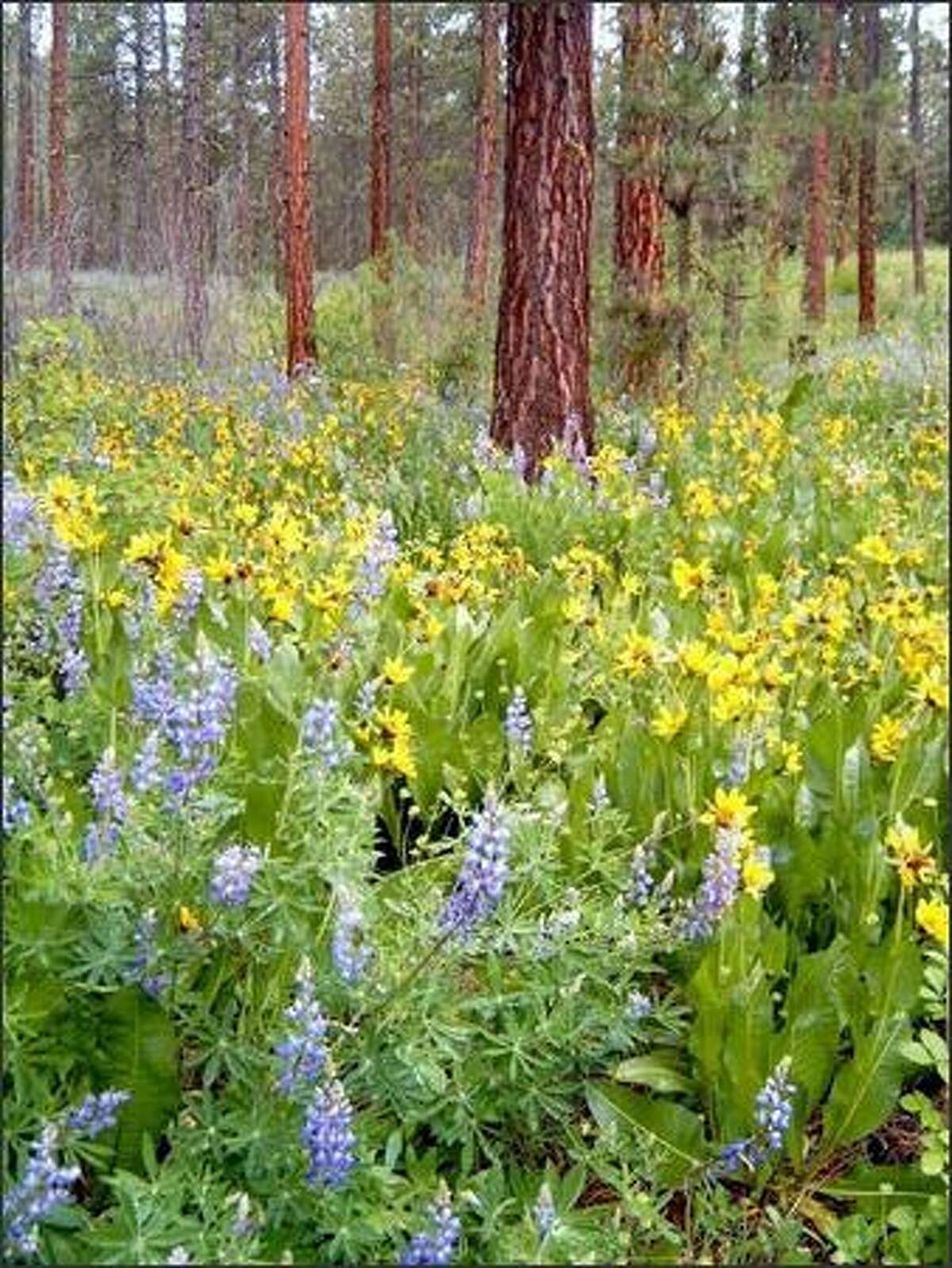Lupine and balsamroot displays can be found along the Ski Hill Road in Leavenworth.