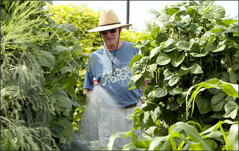 tends his beans and corns at the Interbay P-Patch, where he has been gardening for the past 17 years. The P-Patch is celebrating its 30th anniversary with a garden party on Saturday. Photo: Gilbert W. Arias/Seattle Post-Intelligencer