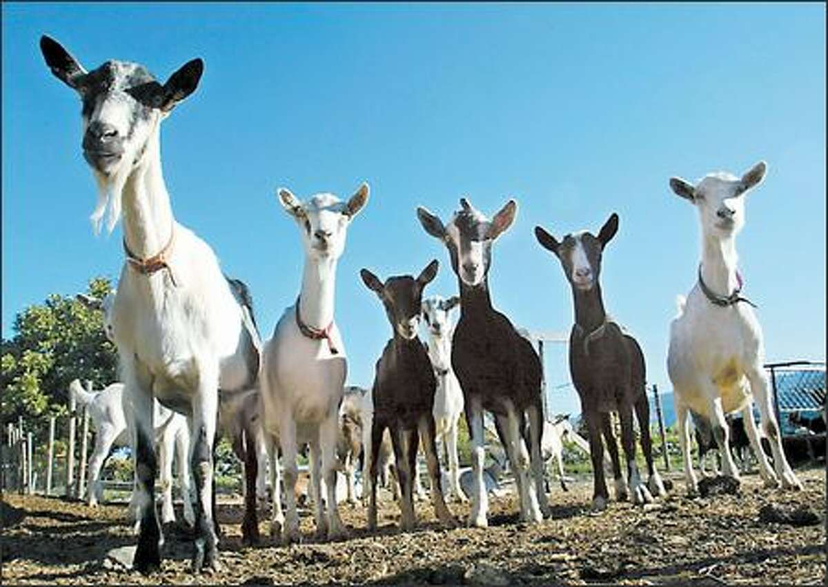 Quillisascut's goats graze in green pastures, and partake of barley grown naturally on a nearby farm.