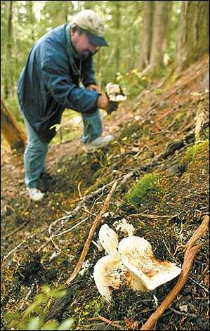 Takemi Sugiyama collects Matsutaki mushrooms in the Cascades. Photo: Mike Urban/Seattle Post-Intelligencer