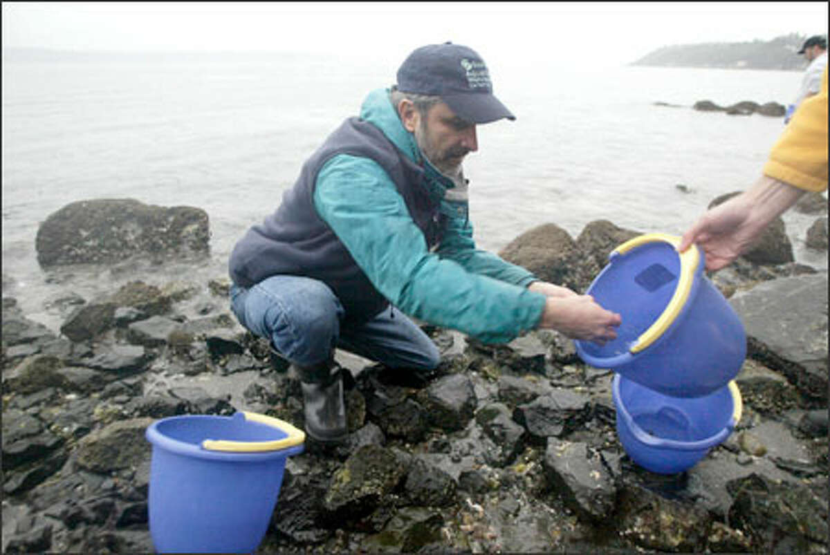Mark Plunkett of the Seattle Aquarium examines marine life along Seahurst Park's sea wall. The critters were relocated while restoration work is being done.