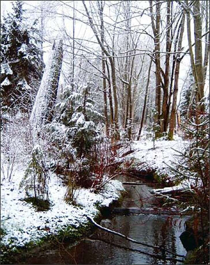 Longfellow Creek flows through a placid winter setting. A scene from the Cascades? Nope. It's from just off Southwest Juneau Street in West Seattle. And there's even a beaver dam nearby. Photo: Karen Ducey/Seattle Post-Intelligencer