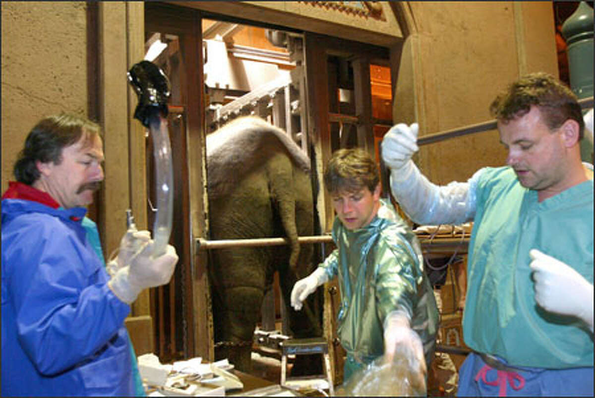German experts Thomas Hildebrandt, center, and Frank Goeritz, right, prepare to artificially inseminate Chai. They were assisted by Pat Maluy, the lead elephant keeper at the Woodland Park Zoo, who is holding the endoscope used to visualize the elephant's inner workings.