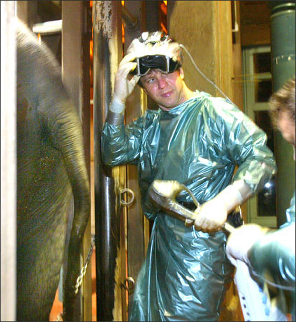 Dr. Thomas Hildebrandt, a German expert in elephant reproduction, prepares to use a probe to see if Chai is ready for artificial insemination at the Woodland Park Zoo. The hours-long process is a tricky business.
