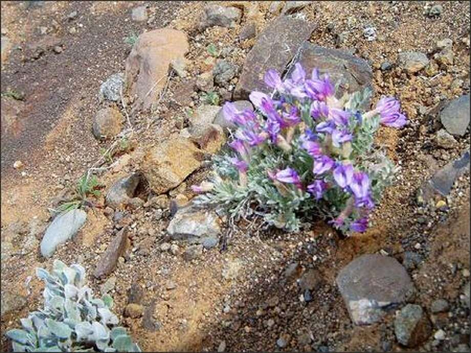 A blooming locoweed is shown along the John Wayne Pioneer Trail. Hikers should wait until early April for the wildflower displays for which this region is known. Photo: KAREN SYKES/SPECIAL TO P-I