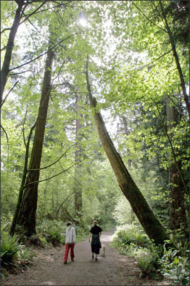 Seattle Parks and Recreation is worried about the risk from trees like the one at right in Seward Park. This section of trail is less popular than others, making it less likely that the tree will be cut down. Photo: Meryl Schenker/Seattle Post-Intelligencer