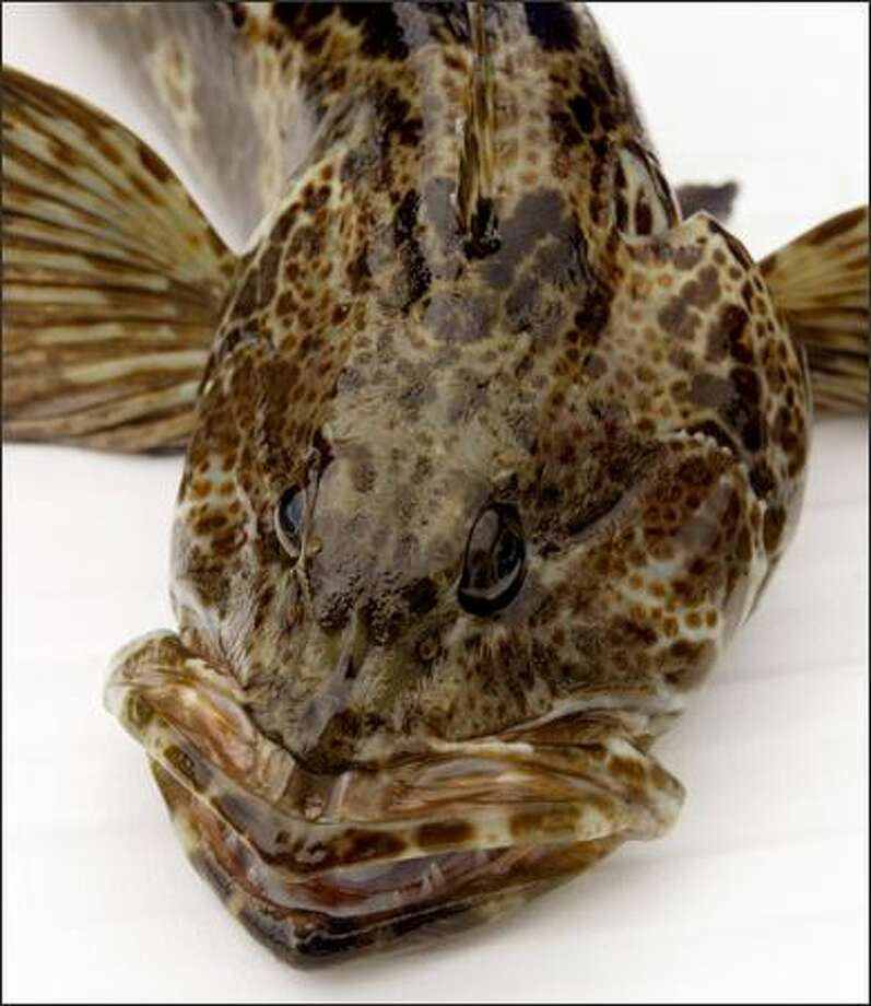 Lingcod are all eyeballs, teeth and jaws -- and attitude. Photo: Mike Urban/Seattle Post-Intelligencer