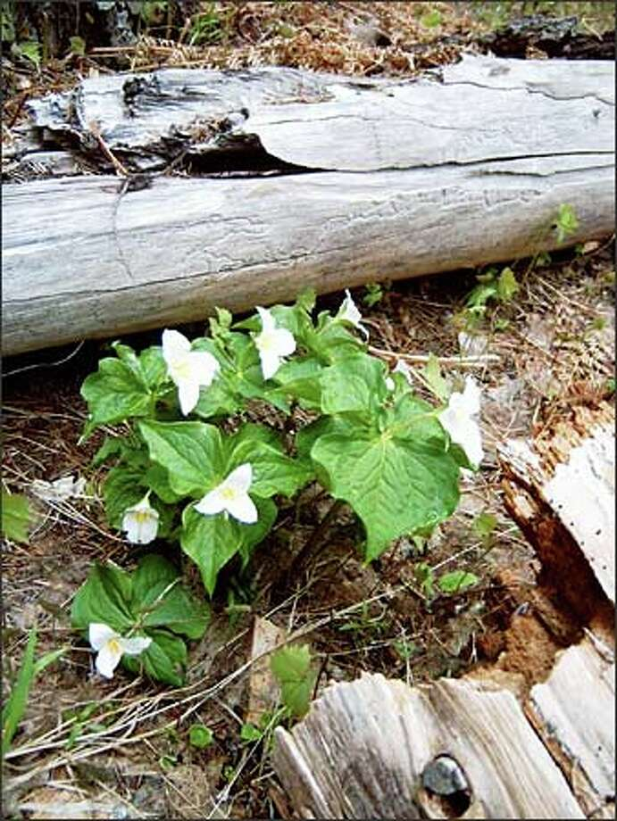 Trilliums are out in force and leading the way for other wildflowers along the Miller Peak Trail, in the Teanaway River area east of the Cascade Crest. Photo: Karen Sykes/Special To The P-I